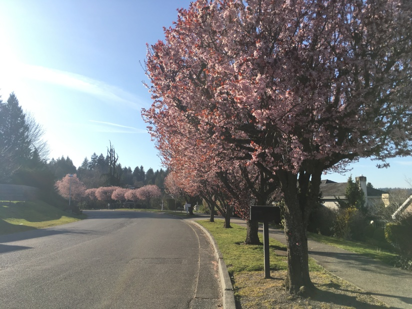 Seattle cherry trees